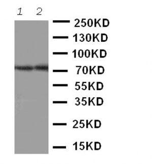 Picture of ABCG4 Antibody