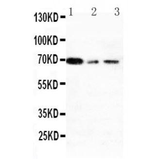 Picture of XRCC1 Antibody